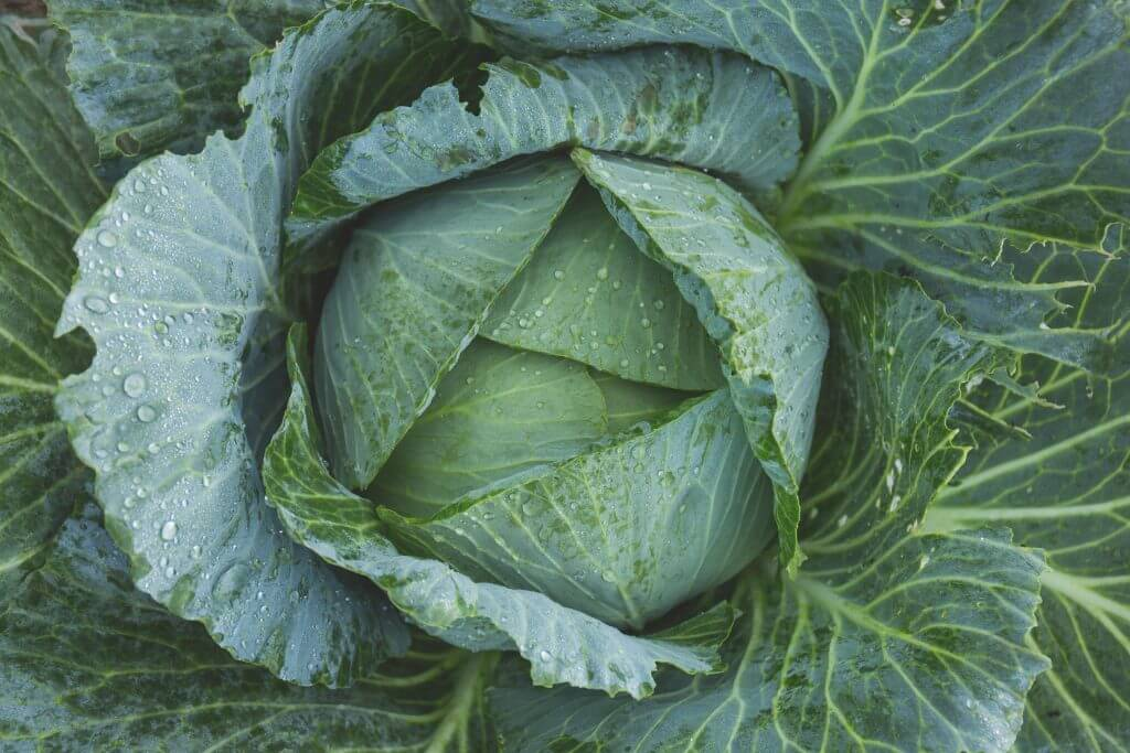 What to Plant in August & September: Close up image of a cabbage.