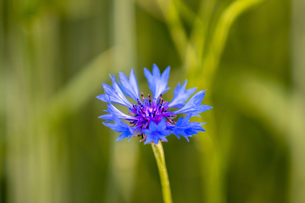 What to Plant in August & September: Image of a cornflower.